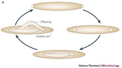 البكتيريا العملاقة Epulopiscium