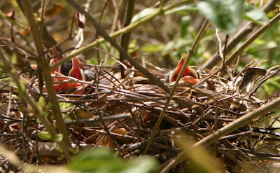Three baby cardinals