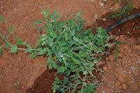 Wando green peas nearly ready for harvest