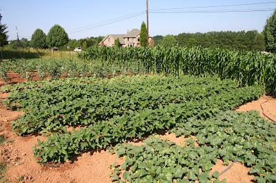 Jonathan Eller's vegetable garden June 26, 2008