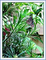 Dark Blue Tiger Butterfly in its natural habitat