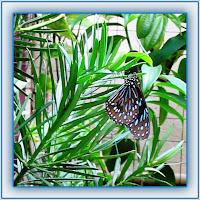 Tirumala (Danaus) septentrionis or Dark Blue Tiger butterfly