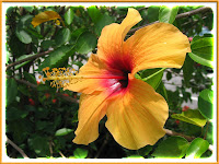 A stunning Yellow Hibiscus with a lovely deep crimson center