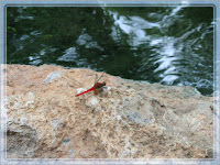 A red dragonfly resting on one of the rock surface, near the egg-boiling area. Many others were seen flying around the flowering borders too!