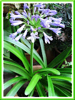How lovely - Agapanthus (Lily of the Nile) flowering for the second time within 3 months!
