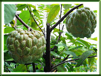 Annona squamosa (Sugar Apple), really sweet & custardy. We had 10 fruits this season!