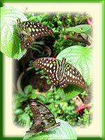 A collage of Tailed Jay (Graphium agamemnon) - beautiful green-spotted butterfly