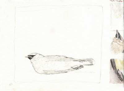 Erin Curry- bird drawing 1