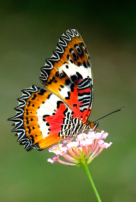 is a new monthly series where a butterfly species is featured as theButterfly Species Names