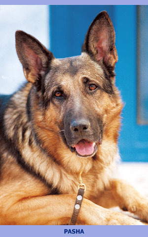 Sharplaninskaya Çoban Köpeği. Cins tanımı 75