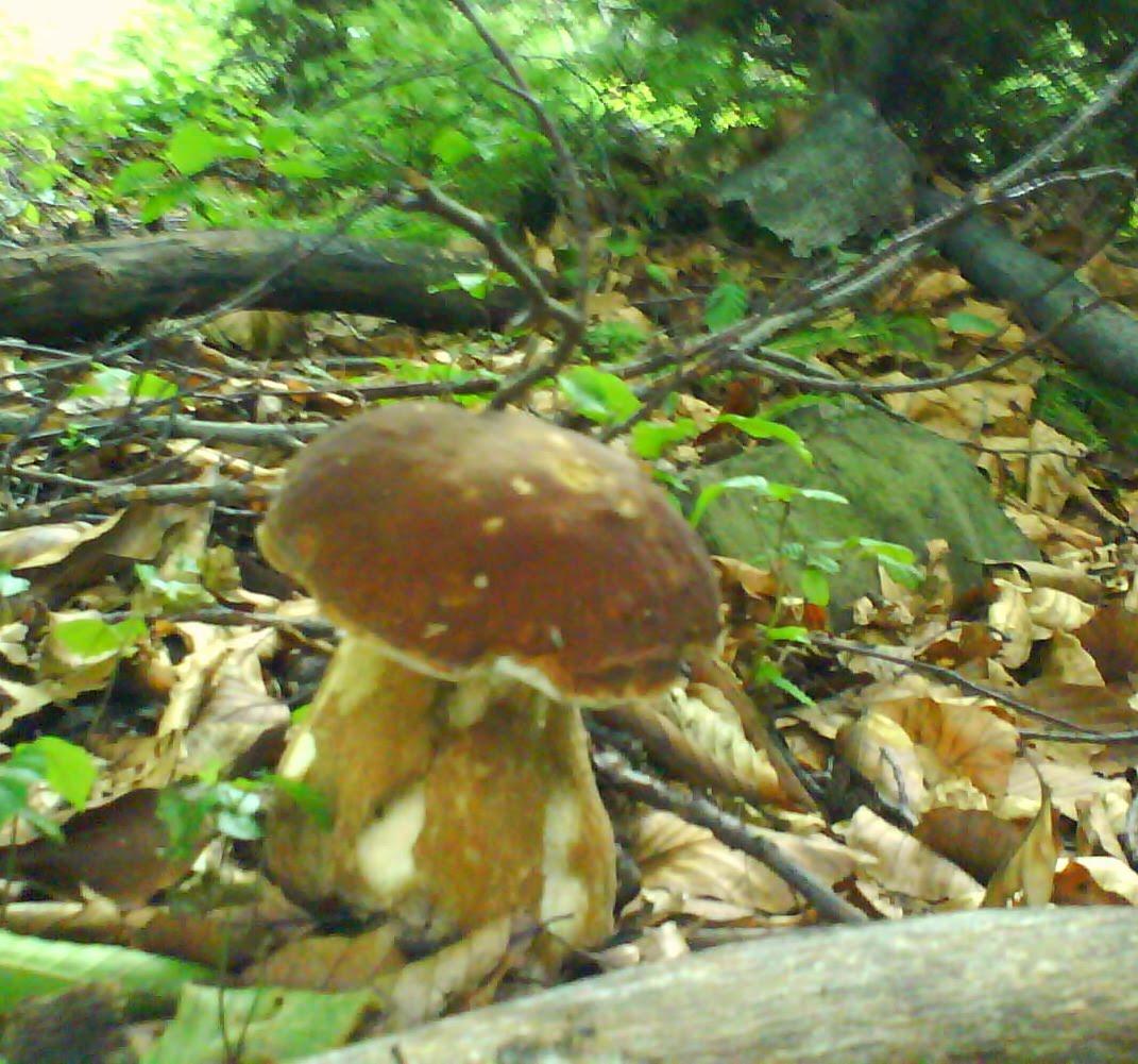 Specii de ciuperci de padure din Romania