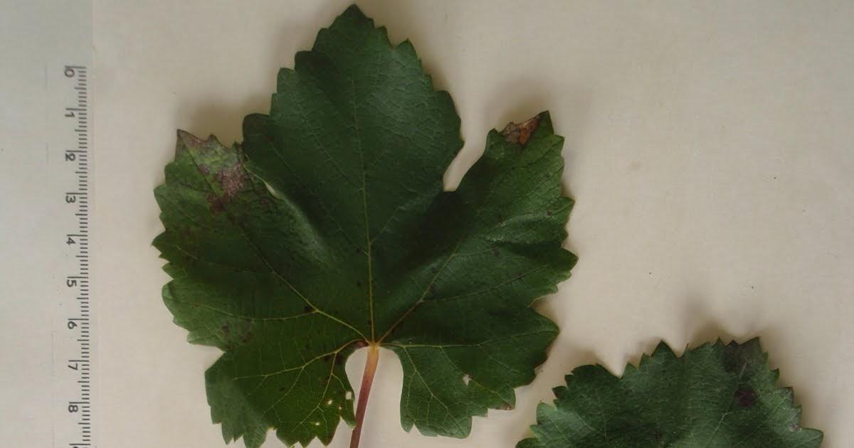 Herbario Virtual De Banyeres De Mariola Y Alicante Vitis Vinifera