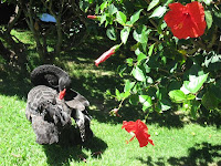 black swan with hibiscus