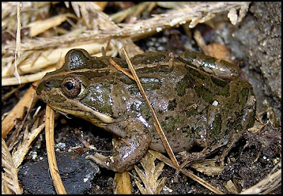 Hunter Valley Backyard Nature: #23 A Frog in the Grass