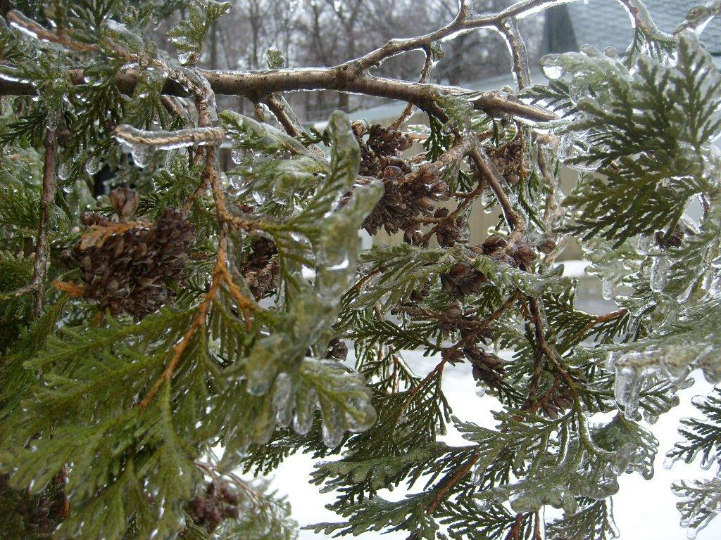 [icey+pine+branch.jpg]