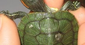 The Reptile King's Latest News: Shell Rot in Turtles & Tortoises