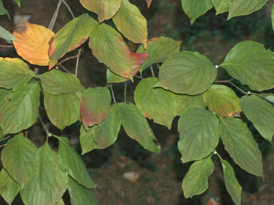 Close-up of a few dozen dogwood leaves, one of which has turned yellow and a few others of which are turning red at the edges