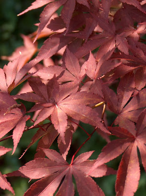 A cluster of Japanese maple leaves that have turned red