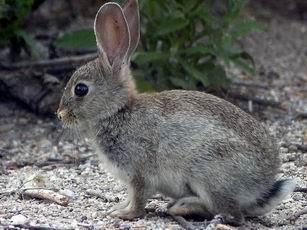 Enfermedades de conejos