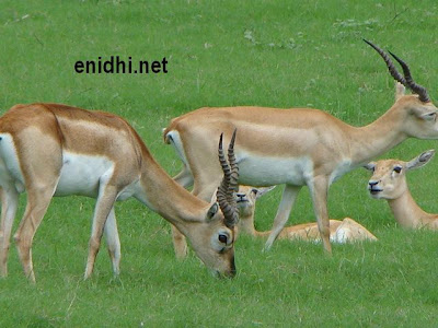 Impala, the deer like animal