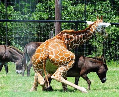 girafa tentando dar uma