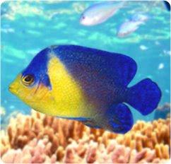 fish: Venustus Angelfish