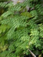 protein dan karbohidrat daun katuk hampir setara dengan daun pepaya dan daun singkong Manfaat Daun Katu (Daun Katuk)