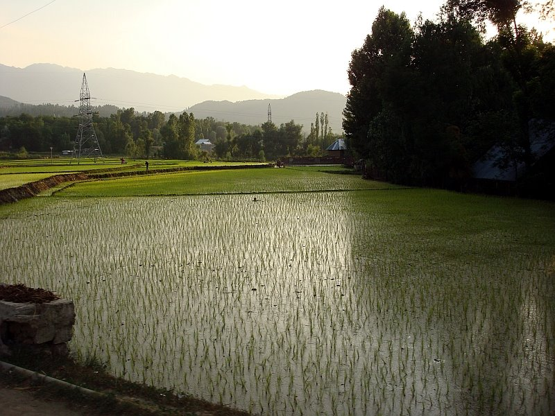 rice paddy field kashmir