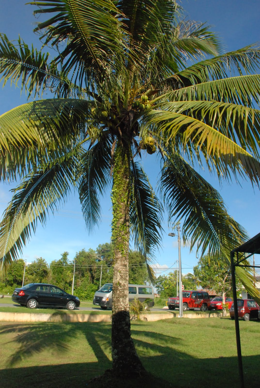 CiHM Family pokok kelapa