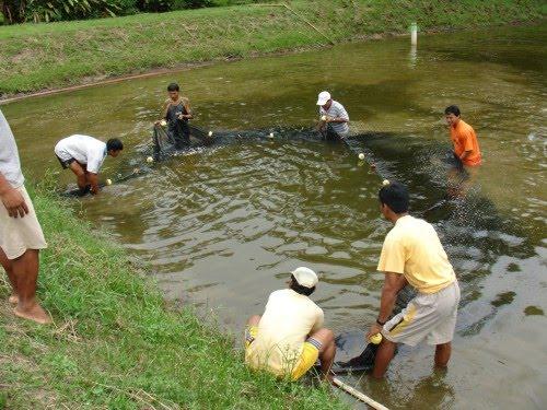 Kafiambiental la piscicultura for Peces que se cultivan en estanques en panama