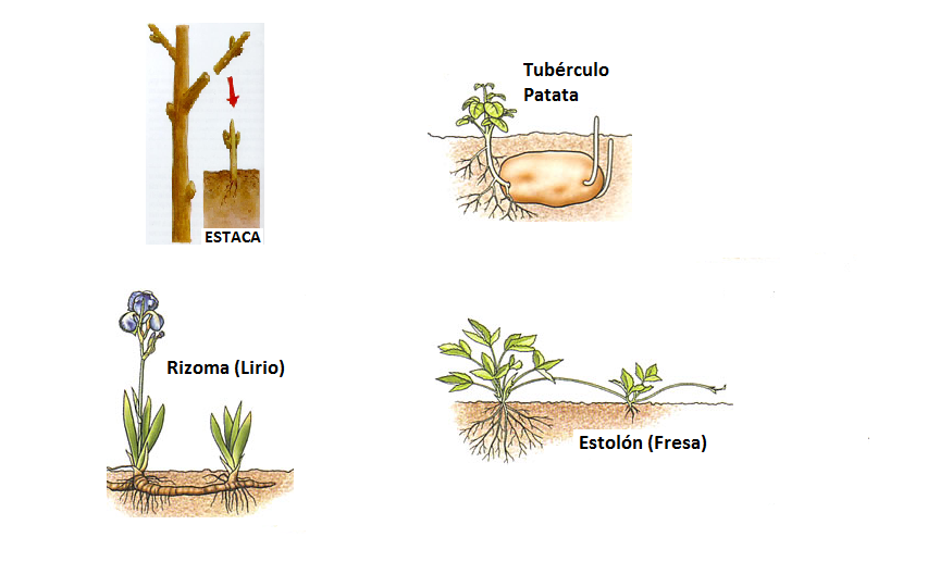 Ejemplos de escision reproduccion asexual artificial