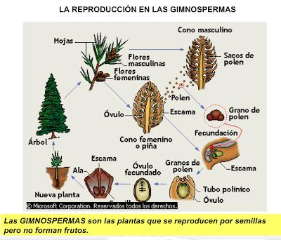 Resultat d'imatges de gimnospermas