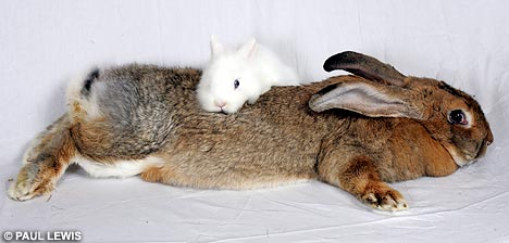 Amy, the record holder for biggest bunny as of 2008