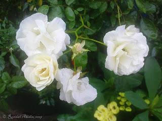 White Rose   Rosidah Abidin   Photo Meme   Earth Day