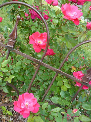 knockout roses behind an iron gate