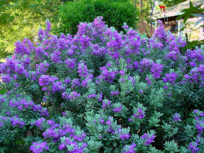 Flowering Plants for Texas and Natives « A Round Rock Garden