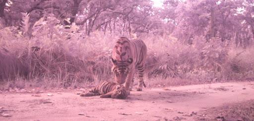 दुधवा नेशनल पार्क के किशनपुर रेंज में बाघों के संघर्ष में शावक बाघ की मौत