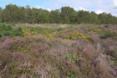 Common heather