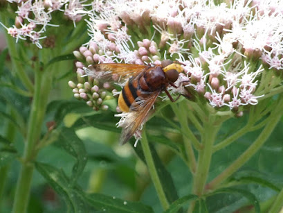 Hornet hoverfly. Photo: Hilary Ash