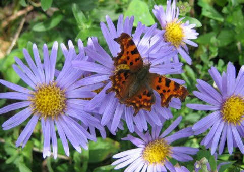 Comma on michaelmas daisies