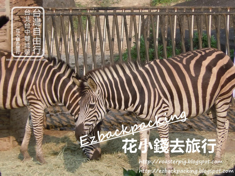 台北動物園必看10種動物:斑馬