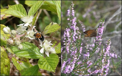 Tree Bumblebee on Bramble flower (left) and a Gatekeeper feeding on the Heather (right)