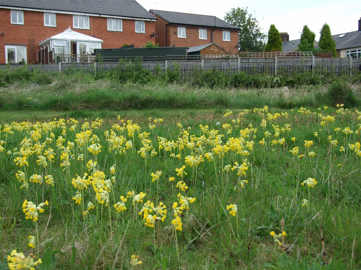Cowslips on the lime waste meadow