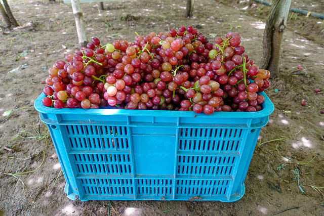 red cardinal grapes la union