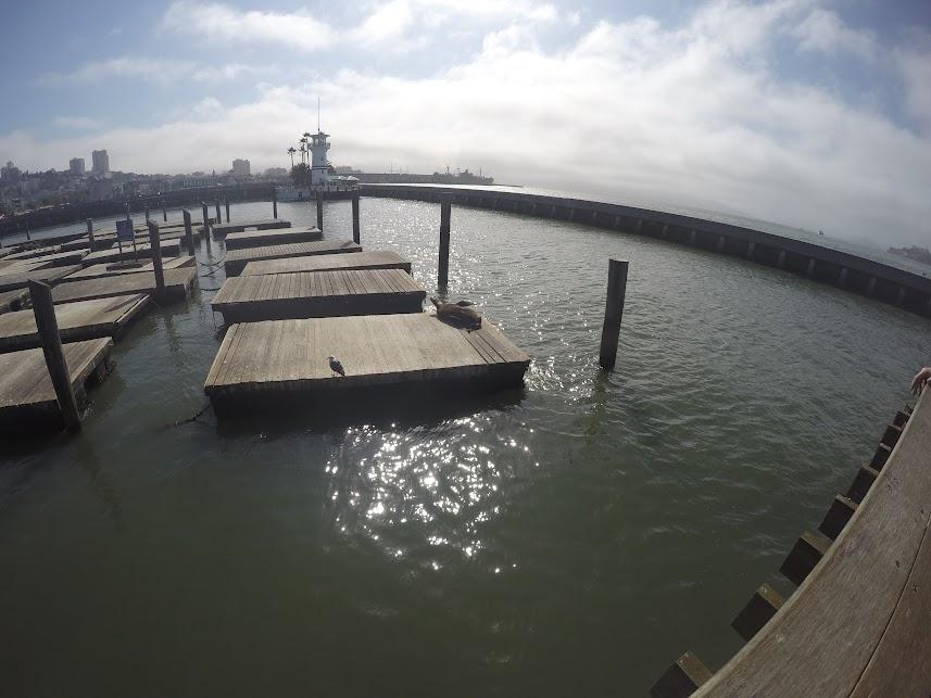 pier 39 san fransico sea lions