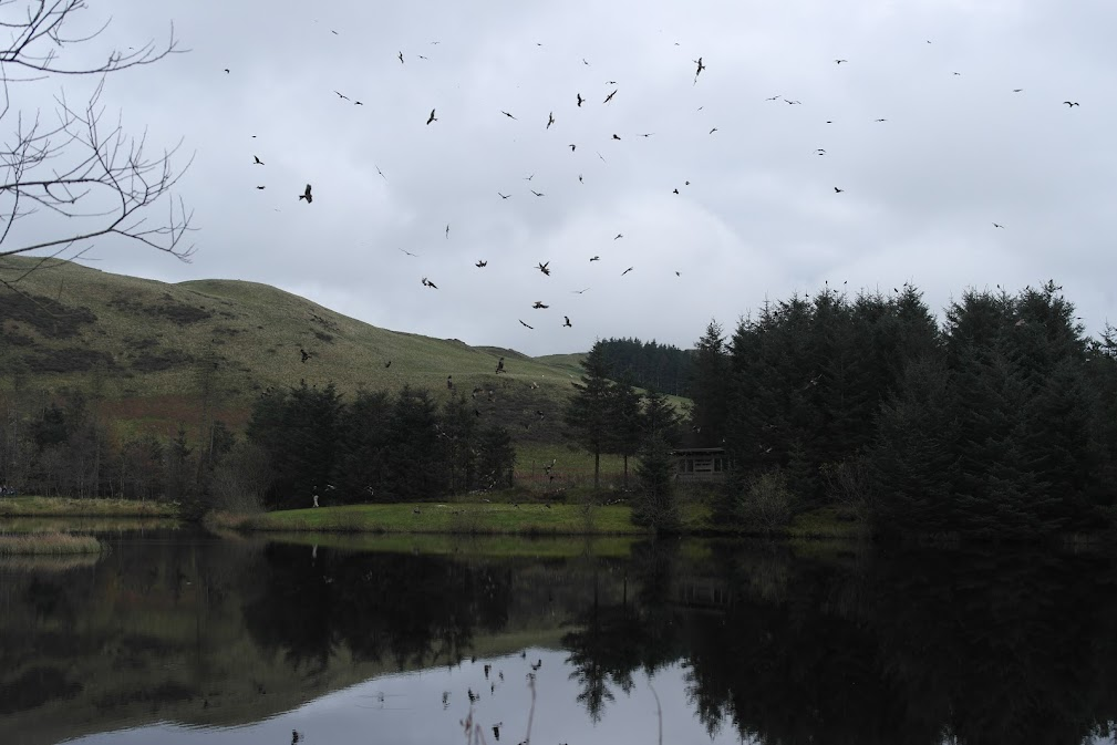 red kite feeding station, wales