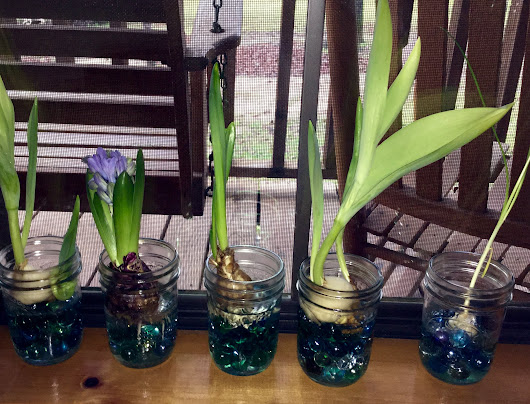 Growing Bulbs Part Two