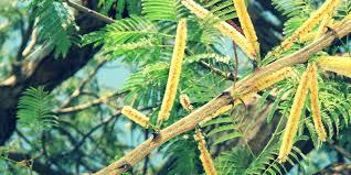 Image result for khair tree