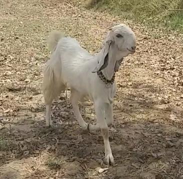 जमुनापारी बकरी प्रकृति द्वारा प्रदत्त एक अनुपम उपहार है-: मुख्य विकास अधिकारी