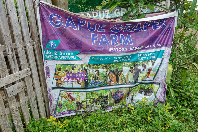 gapuz grapes farm